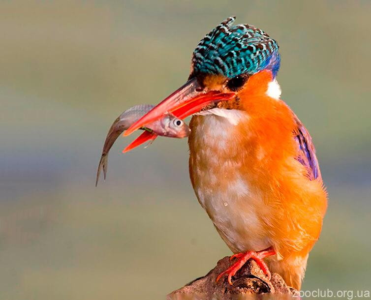 Фото малахитового зимородка