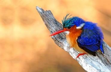 Малахитовый зимородок