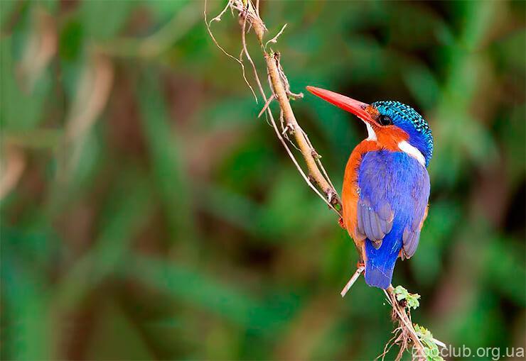 Фото зимородка малахитового