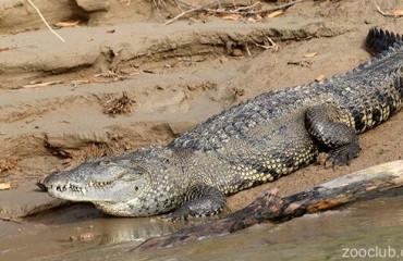 Мексиканский или центральноамериканский крокодил