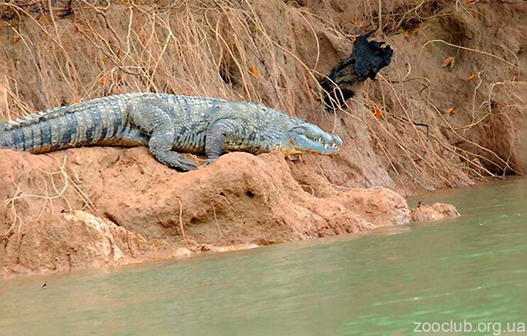 Центральноамериканский крокодил фото