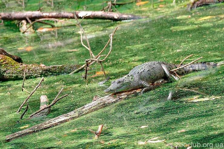 Фото мексиканского крокодила