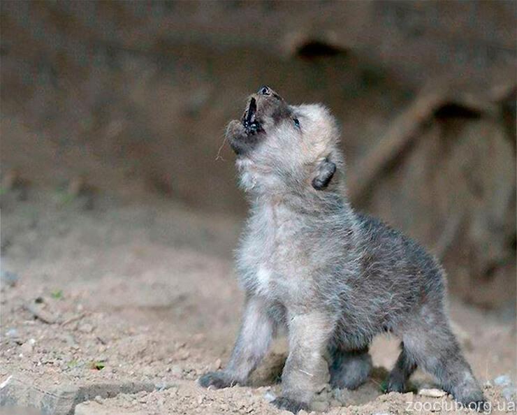Детёныш волка арктического