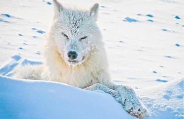 Мелвильский островной волк, или волк арктический