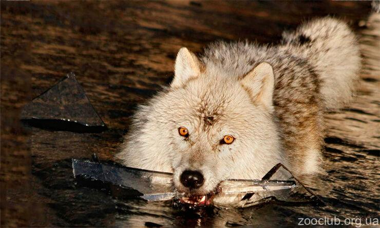 Фото Canis lupus arctos