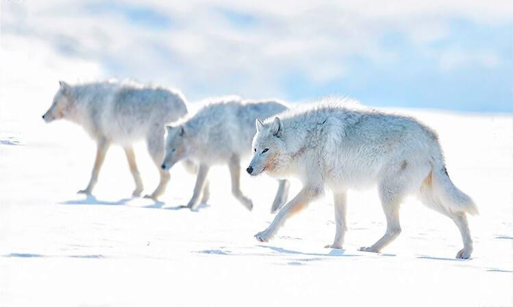 Фото мелвильского островного волка