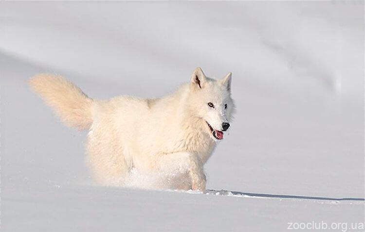 волк арктический фото