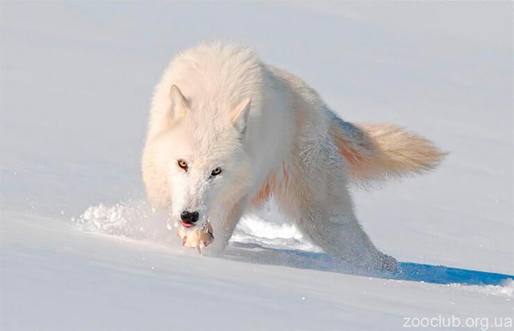 Мелвильский островной волк фото