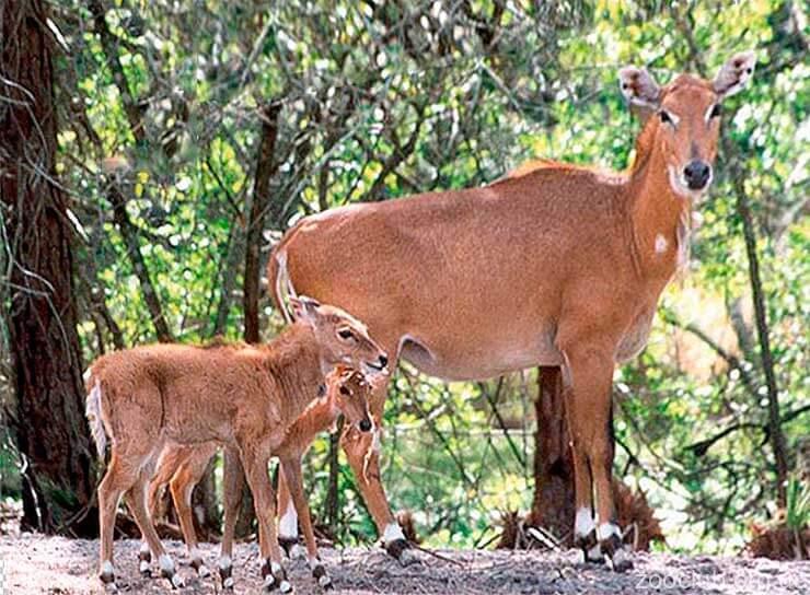 Фото большой индийской антилопы