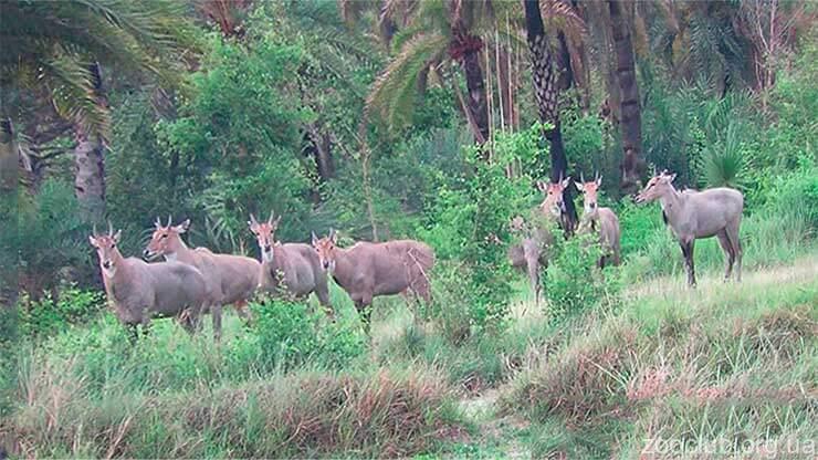 Большая индийская антилопа фото