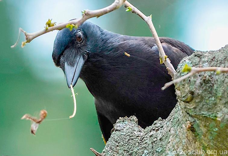 Новокаледонский ворон фото