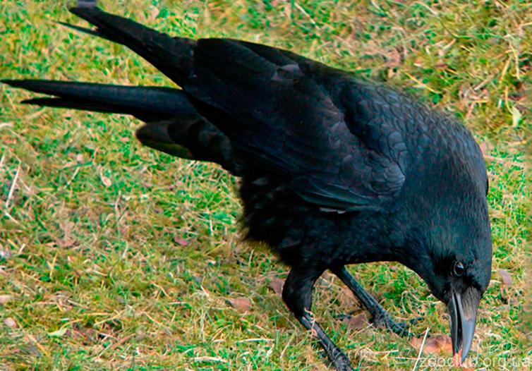 Corvus moneduloides