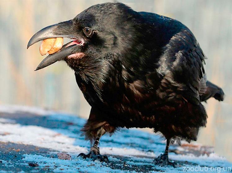 Фото новокаледонского ворона