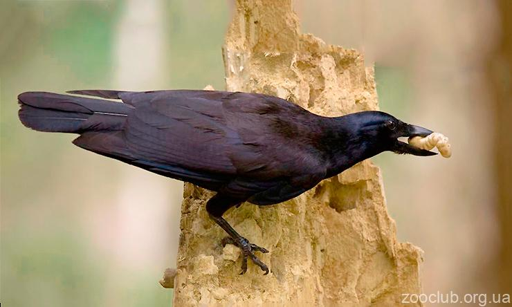 Фото ворона новокаледонского
