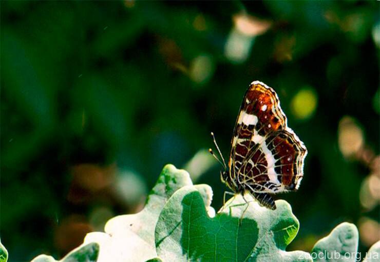 Фото Araschnia levana