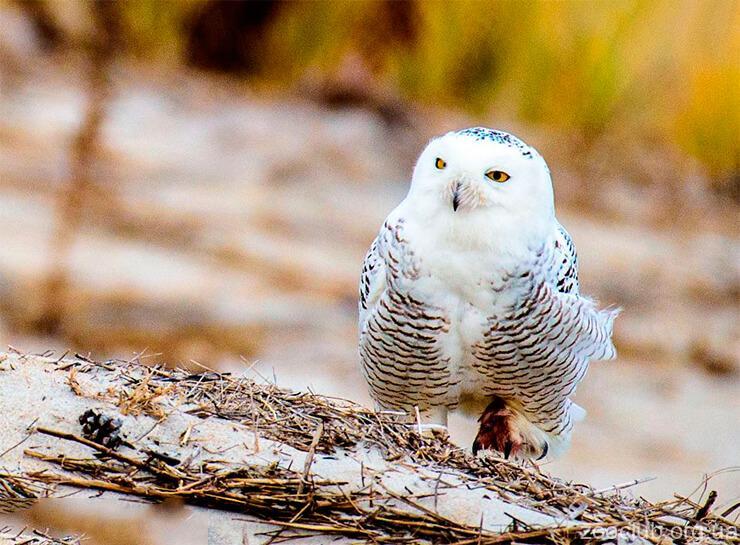 Фото полярной совы