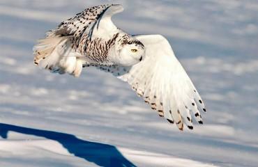 Полярная сова, или белая сова