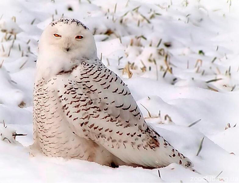 Картинка с белой совой