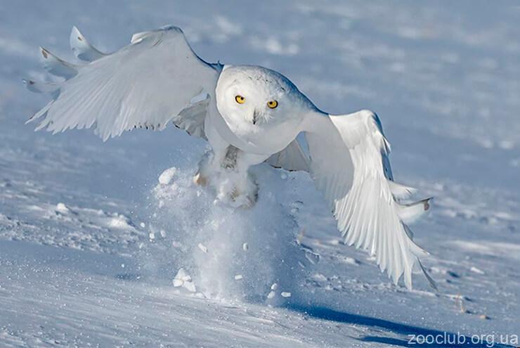 Полярная сова фото