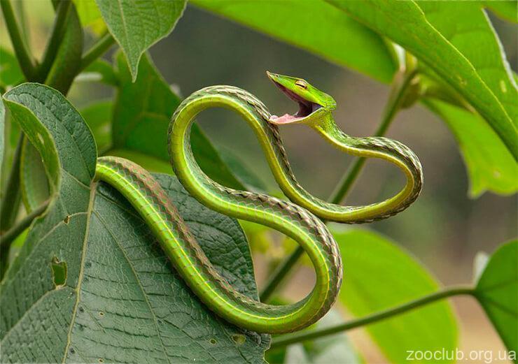 Травянисто-зеленая плетевидка фото