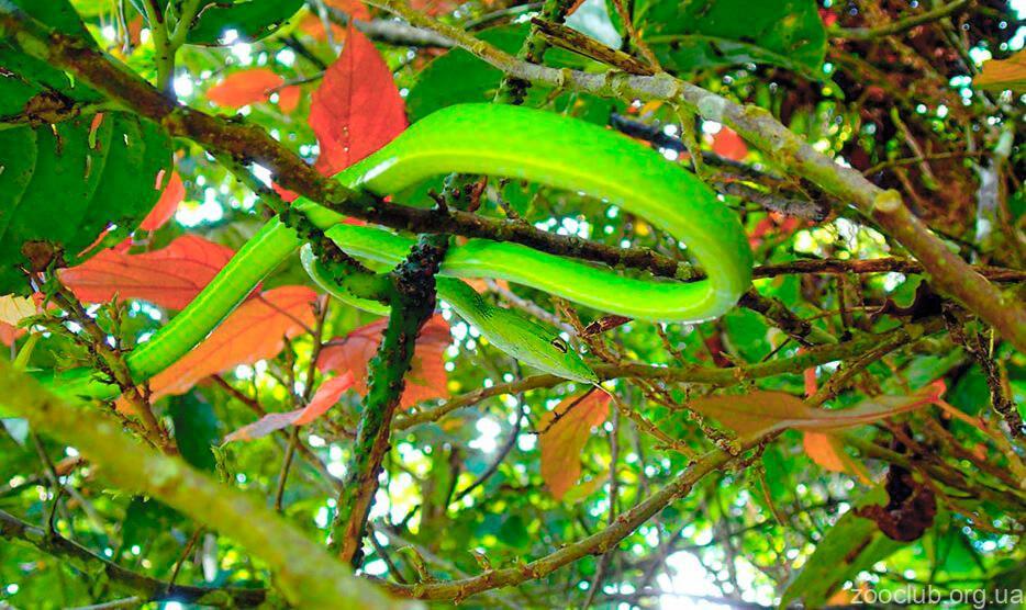 Фото травянисто-зеленой плетевидки