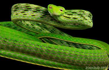 Зелена батігоподібна змія, або азійська винна змія