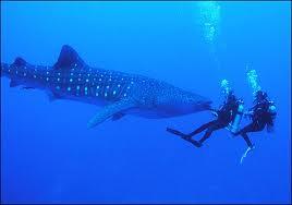 Акула китовая