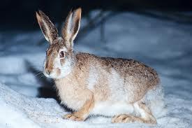 hare1 Заяц европейский