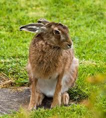 hare2 Заяц европейский