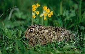 hare4 Заяц европейский