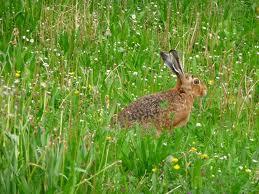hare5 Заяц европейский