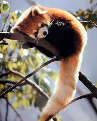malapanda2 Малая панда.