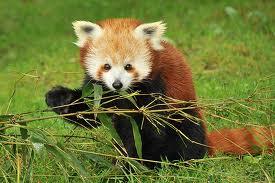 malapanda3 Малая панда.