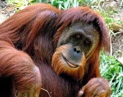 orn1 Орангутан