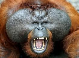 orn2 Орангутан