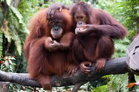 orn3 Орангутан
