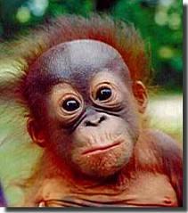 orn4 Орангутан