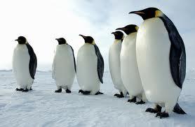 pin Императорский пингвин