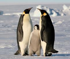 pinma Императорский пингвин