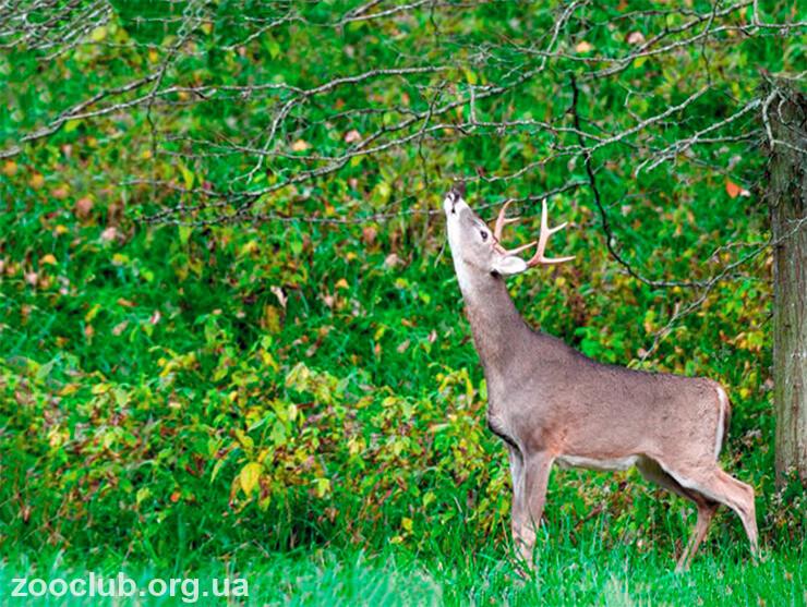 Картинка с оленем виргинским белохвостым