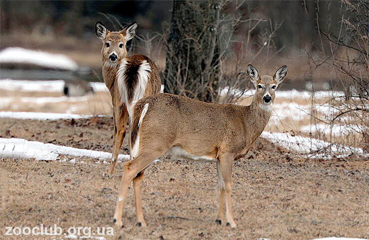 Фото виргинского белохвостого оленя
