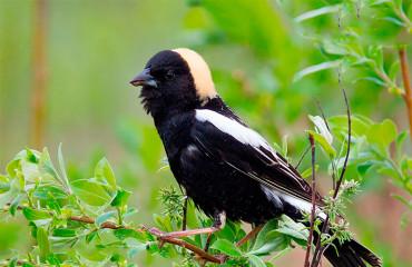 Рисовая птица, или боболинк