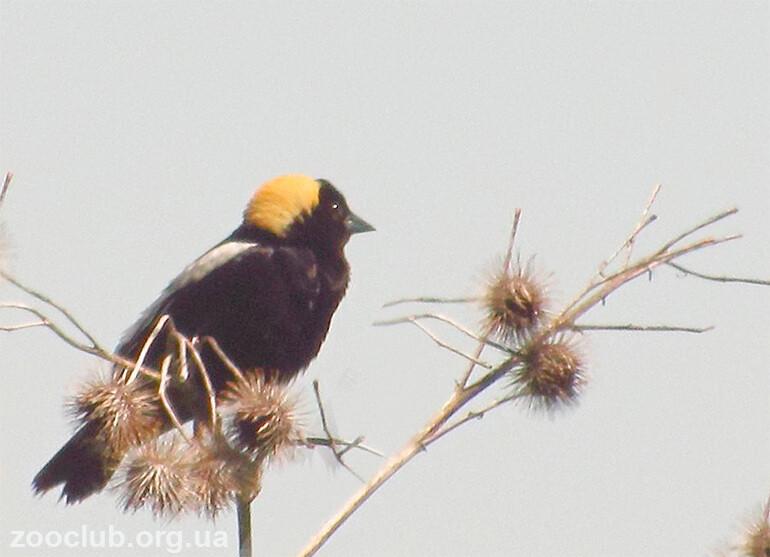 Рисовая птица фото