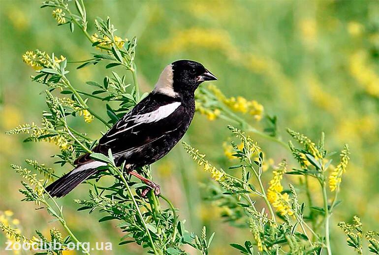 Фото рисовой птицы
