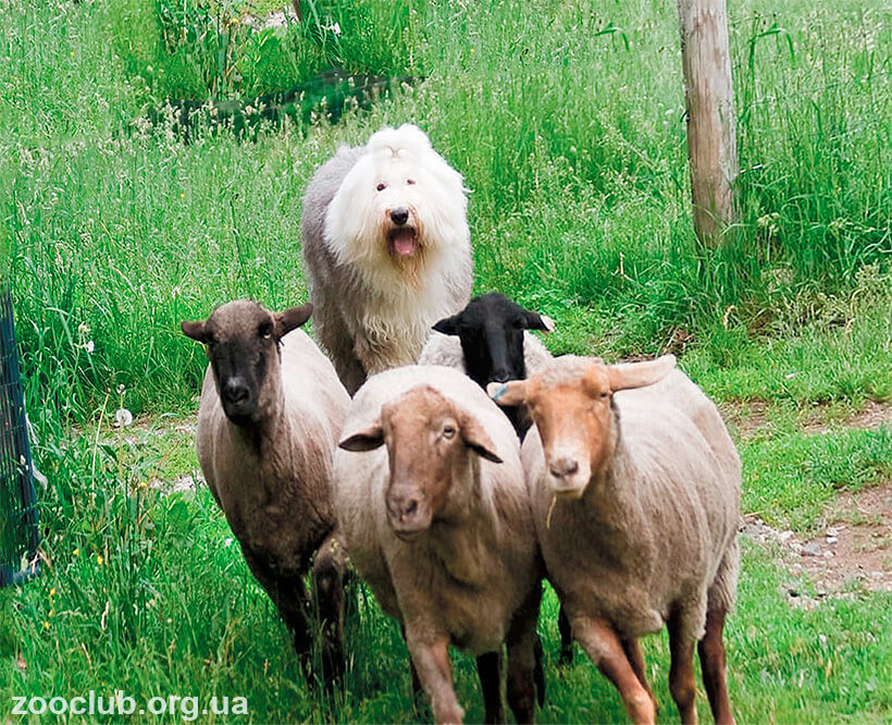 Old English Sheepdod