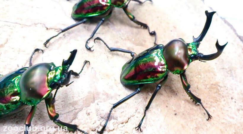 рогач радужный жук