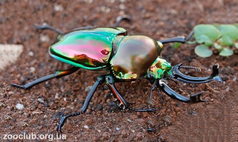 Радужный рогач жук