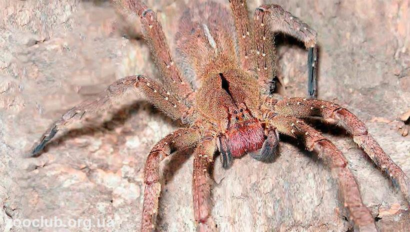 фото бразильского странствующего паука