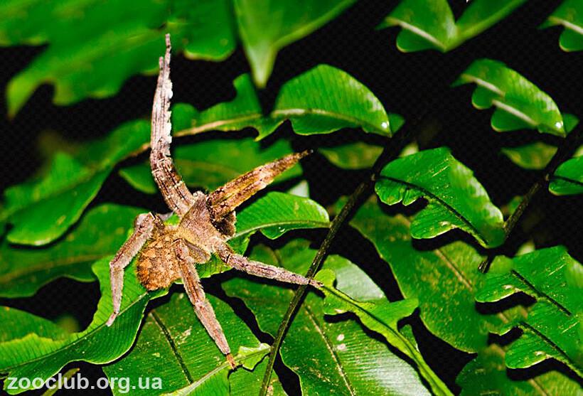 Бразильский странствующий паук фото