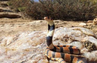 Южноафриканская щитковая кобра, или коралловая кобра